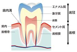 図 歯の構造